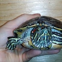 Turtle - Other for adoption in Markham, Ontario - Justin