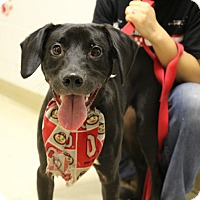 "Labrador Retriever Mix Dog for adoption in Elyria, Ohio - Jonah aka ""Bob"""