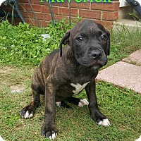 Pit Bull Terrier Puppy for adoption in Pensacola, Florida - Maverick