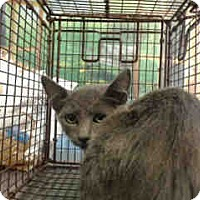 Domestic Shorthair Cat for adoption in San Bernardino, California - URGENT on 8/24 San Bernardino