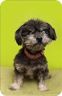 Maltese Mix Dog for adoption in Dublin, California - Sir William