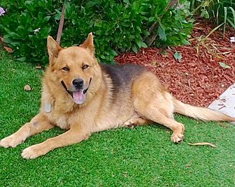 German Shepherd Dog Mix Dog for adoption in Los Angeles, California - Handsome Smokey