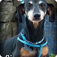 Dachshund Dog for adoption in Anaheim Hills, California - Bingo