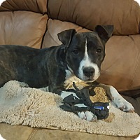 Pit Bull Terrier/Boston Terrier Mix Puppy for adoption in Severance, Colorado - KATIE