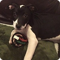 Pit Bull Terrier Mix Puppy for adoption in Dallas, Texas - Skylar