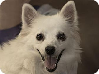 American Eskimo Dog Dog for adoption in Colorado Springs, Colorado - Halo