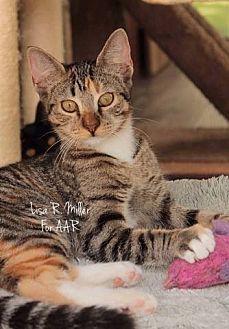 Domestic Shorthair Kitten for adoption in Freeport, Florida - Destiny