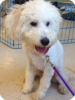 Cockapoo Mix Dog for adoption in Oceanside, California - Hurley