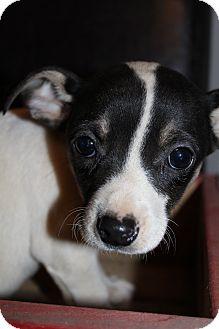 Chihuahua Mix Puppy for adoption in Hamburg, Pennsylvania - Smudge McGruff
