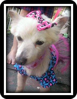 Pomeranian/Poodle (Miniature) Mix Dog for adoption in Indian Trail, North Carolina - Minnie