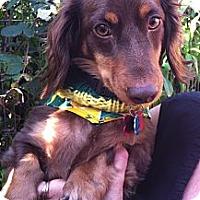 Adopt A Pet :: CHARLIE. BROWN - Portland, OR