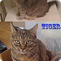 Adopt A Pet :: Tiger - Columbia, MD