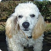 Adopt A Pet :: Beau - Mooy, AL