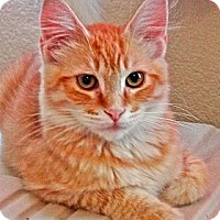 Adopt A Pet :: Tom Sawyer - Escondido, CA