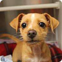 Adopt A Pet :: Scruffles, aka ScrufaLupaGus! - Woodland, CA
