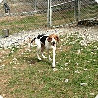 Adopt A Pet :: Delilah - Cashiers, NC