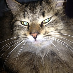Photo 3 - Domestic Longhair Cat for adoption in Walnut Creek, California - Moonbeam