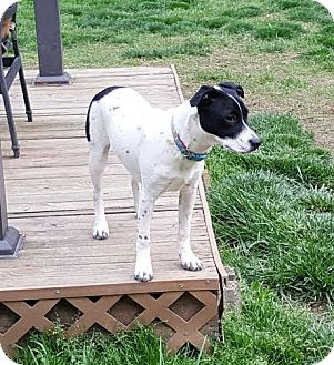 Jack Russell Terrier/Fox Terrier (Smooth) Mix Puppy for adoption in Cincinnati, Ohio - Opal