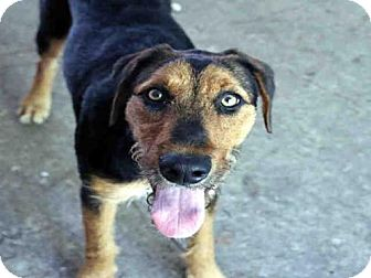 Airedale Terrier Mix Dog for adoption in Fort Walton Beach, Florida - SUNSHINE