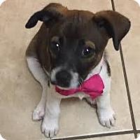 Adopt A Pet :: Puppy Lady * - Miami, FL