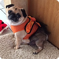 Pug Mix Dog for adoption in McKinney, Texas - Frankie