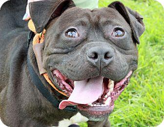 Staffordshire Bull Terrier/Bulldog Mix Dog for adoption in Troy, Michigan - Chocolate Ganache