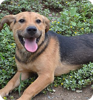 Beagle/German Shepherd Dog Mix Puppy for adoption in Fairfield, New Jersey - Baron