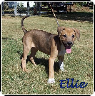 Beagle/Boxer Mix Puppy for adoption in Milford, New Jersey - Ellie
