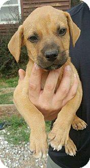 Black Mouth Cur Mix Puppy for adoption in Arlington, Massachusetts - Bohannan