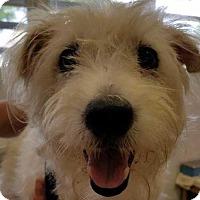 Westie, West Highland White Terrier Dog for adoption in Boston, Massachusetts - Sebastian