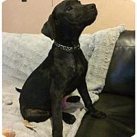 Labrador Retriever Mix Puppy for adoption in Mobile, Alabama - Rhett