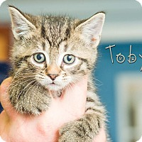 Domestic Shorthair Kitten for adoption in Somerset, Pennsylvania - Toby