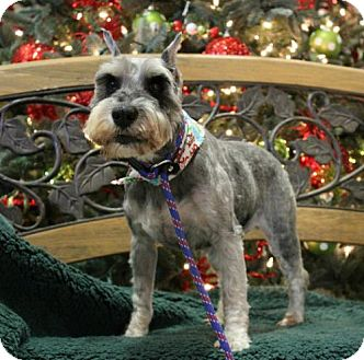 Standard Schnauzer Mix Dog for adoption in Hilton Head, South Carolina - Beulah