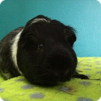 Guinea Pig for adoption in Coral Springs, Florida - Popeye (Neutered)