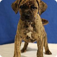 Adopt A Pet :: Chase - Waldorf, MD