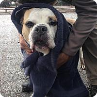 Adopt A Pet :: Winston - Beverly Hills, CA