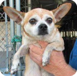 Chihuahua Dog for adoption in Ormond Beach, Florida - Charlie