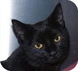 Domestic Shorthair Cat for adoption in Sacramento, California - Sadie