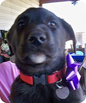 Labrador Retriever Mix Puppy for adoption in Manchester, Connecticut - cooper in manchester ct
