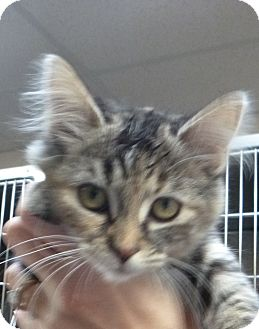 Domestic Mediumhair Kitten for adoption in St. Petersburg, Florida - Juicy Lucy
