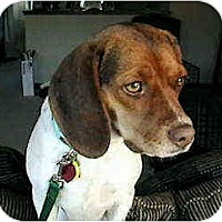 Adopt A Pet :: Romy - Novi, MI
