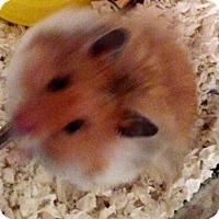 Adopt A Pet :: Koda Bear - Bensalem, PA