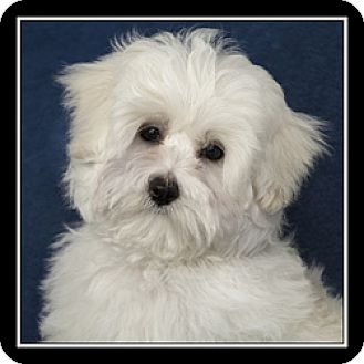 maltese rescue san diego san diego ca maltese meet benny a puppy for adoption 8826