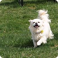 Adopt A Pet :: Stella - Prole, IA