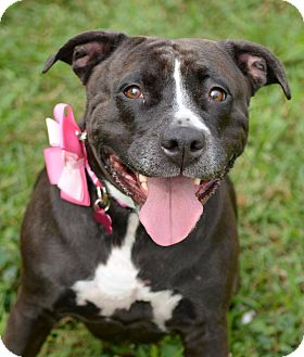 American Bulldog/Labrador Retriever Mix Dog for adoption in Miami, Florida - Amy