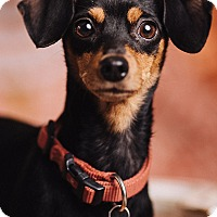 Adopt A Pet :: Minnie - Portland, OR