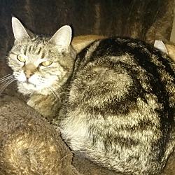 Photo 2 - Domestic Shorthair Cat for adoption in Pasadena, California - Togo