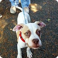 Adopt A Pet :: Pumpkin - Lancaster, PA