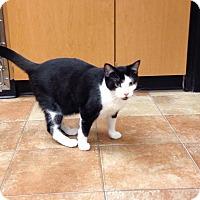 Domestic Shorthair Cat for adoption in Palm desert, California - Charity
