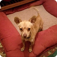 Chihuahua Dog for adoption in Grants Pass, Oregon - Skipper